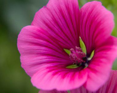 Blüte (pink)