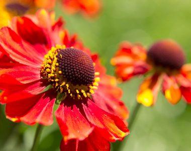 Blume (rot)